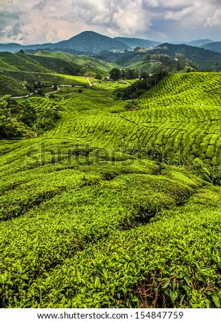 Bright Green Tea Plantation With Mountains n the Background