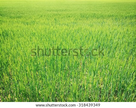 Bright green wheat field on a sunny day. - stock photo