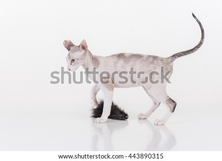 Bright Hairless Very Young Peterbald Sphynx Cat on the white table with reflection. With White Mouse Toy