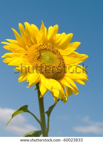 Bright juicy sunflower on background of blue sky - stock photo