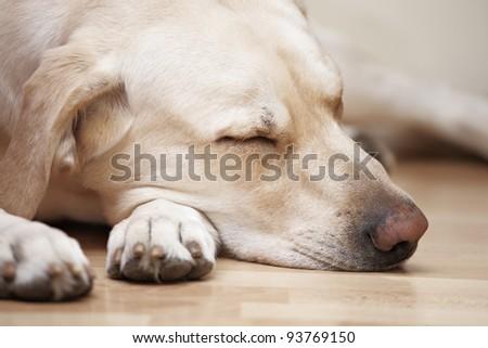 Bright labrador is sleeping on floor. - stock photo