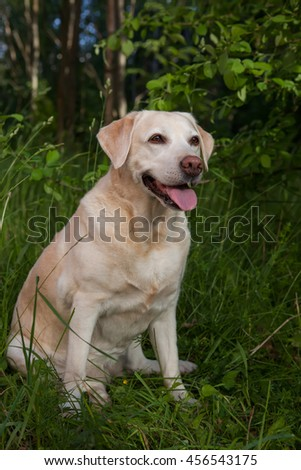 Bright labrador sitting on the summer glade