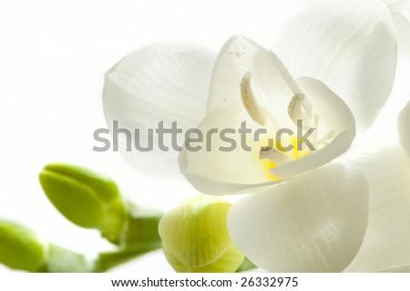 Bright light white fresia - stock photo