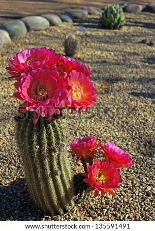 Bright magenta blooms on a Bonker Hedgehog cactus - stock photo