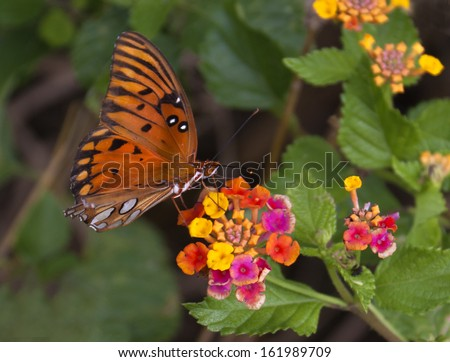 Bright orange and black butterfly on multicolored Lantana flower - stock photo