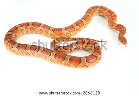 Bright orange corn snake with tongue out isolated - stock photo
