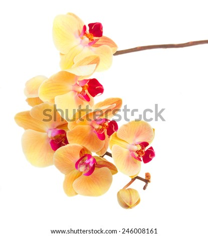 bright orange fresh  orchid branch  isolated on white background - stock photo
