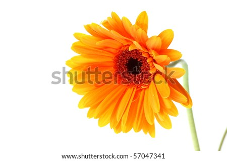 Bright orange gerbera flower on white background - stock photo