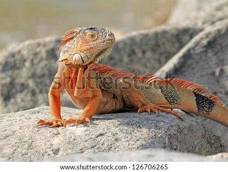 Bright orange iguana (Iguana iguana) sunning of rock with water of Atlantic Ocean in background near beach of Key West, Florida. - stock photo