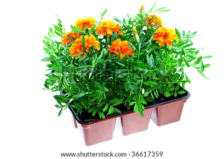 bright orange marigolds in plastic pots on a white background