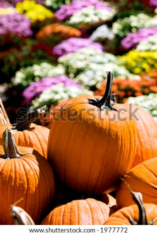 Bright orange pumpkins wait to be carved by anxious children before a background of colorful mums. - stock photo