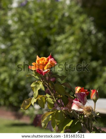 Bright orange  romantic  rose  blooming in early autumn adds fragrant charm to the urban street scape. - stock photo