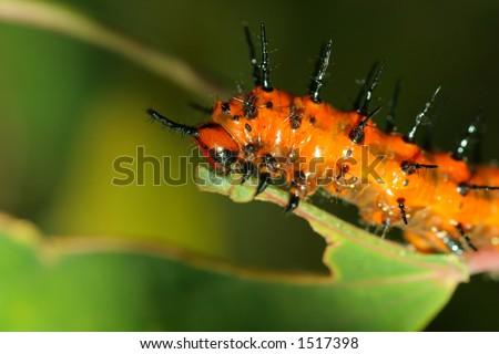 Bright orange spiky Caterpillar - stock photo