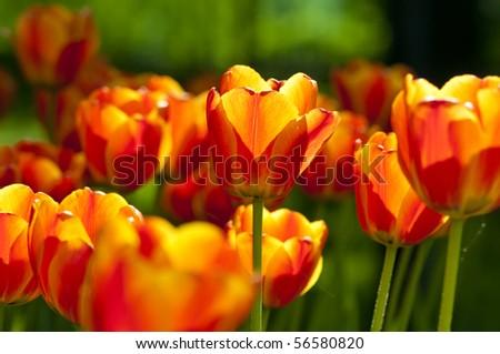 Bright orange yellow tulips - stock photo
