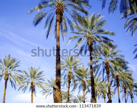 bright palm trees on blue sky California - stock photo