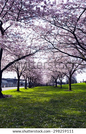 Bright pink alley spring flowering trees on promenade along Willamette River in heart of Portland. A popular meeting place for people in love, as a symbol of the purity of relationships and feelings. - stock photo