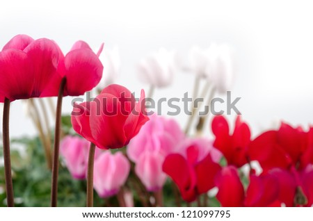 Bright pink and different colors cyclamen flowers in front of white - stock photo