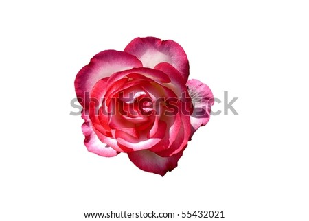 Bright Pink and White Rose Flower Isolated on White - stock photo