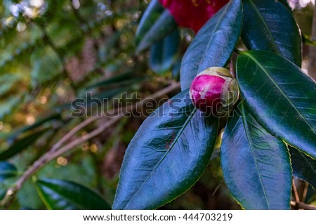 Bright pink camellia bud with lush foliage on the background. Camellia Japonica flower - stock photo