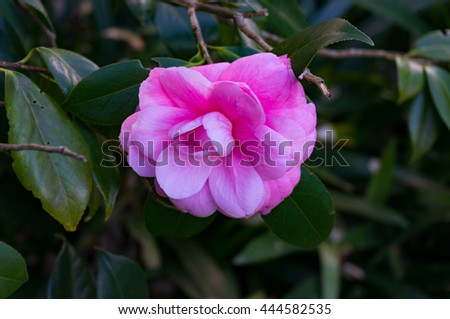 Bright pink camellia flower in full bloom against green foliage background. Pink Camellia flower surrounded with lush green leaves. Close up, selective focus, space for text - stock photo