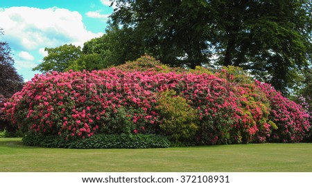Bright Pink Flowering Rhododendron in Parkland near the Rural Village of Mere in Wiltshire, England, UK