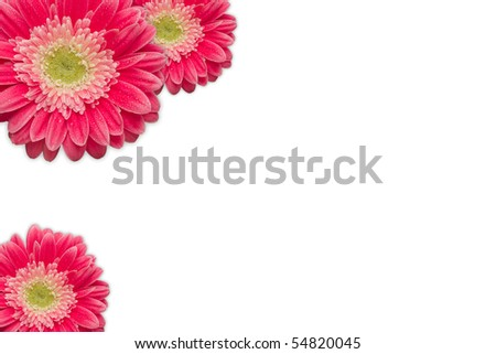 Bright Pink Gerber Daisies with Water Drops on a White Background with Copy Space. - stock photo
