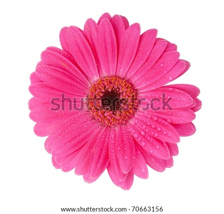 Bright pink Gerber Daisy isolated on white. - stock photo