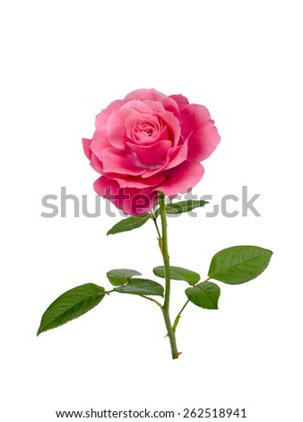 bright  pink rose isolated on  white background