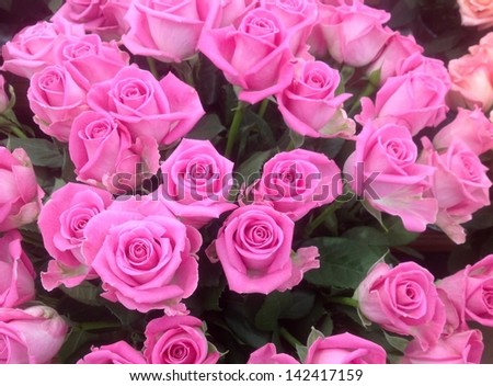 Bright pink roses with perfect blooms - stock photo