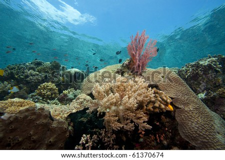 Bright pink sea fan on a tropical coral reef off Bunaken Island in North Sulawesi, Indonesia. - stock photo