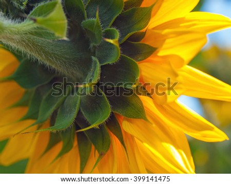 Bright Pretty Yellow Sunflowers in Full Bloom - stock photo
