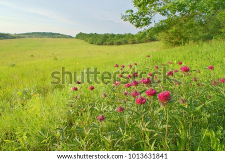Bright purple flowers at green meadow in spring. Landscape on bright green meadow with fresh blooming purple flowers of clover (Trifolium pratense) close and blue sky in spring season in may.