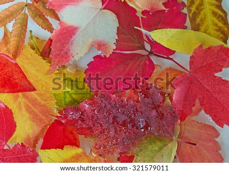 Bright red and orange autumn leaves floating on the water surface. - stock photo