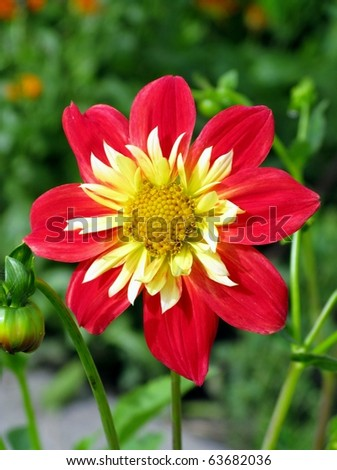 Bright red and yellow anemone-flowering dahlia - stock photo