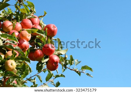 Bright red apples growing high on the tree against a blue autumn sky - stock photo