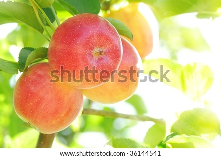Bright red apples with sunlight - stock photo