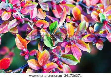 Bright red barberry berries - in Latin Berberis- on the tree under the sunlight - closeup - stock photo