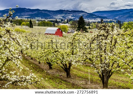 Bright red barn in blooming pear orchards on cloudy spring day - stock photo