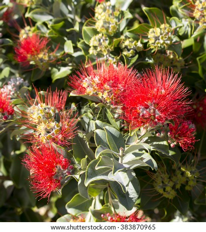 Bright Red Blooms Of Metrosideros New Zealand Christmas Tree Species  Flowering In Early Summer Add Color