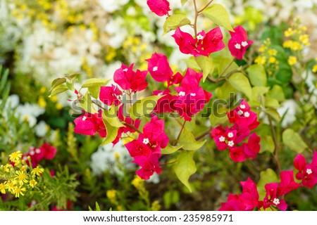 Bright red bougainvillea on background of white bougainvillea - stock photo