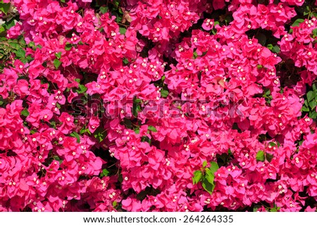 Bright red bougainvilleas  with green leaves background - stock photo