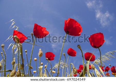 bright red bunch of Papaver, rhoeas, against dark blue sky