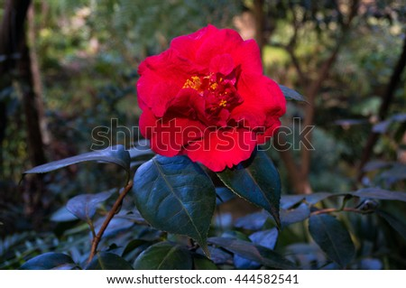 Bright red camellia flower in full bloom against exotic green foliage background. Camellia flower surrounded with tropical lush leaves. Close up, selective focus, space for text - stock photo