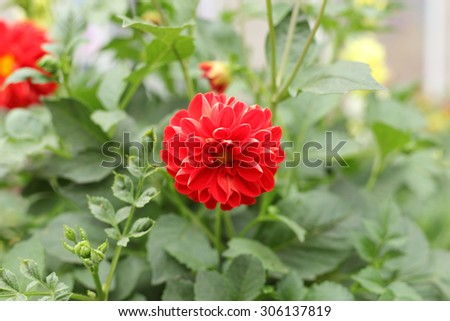 bright red camellia over the green leaves background - stock photo