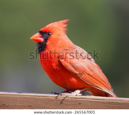 Bright red cardinal bird on a wood deck with a green background - stock photo