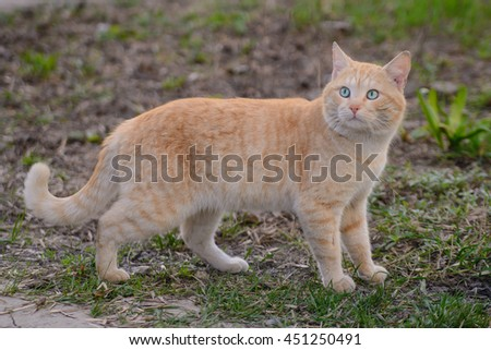 Bright red cat with turquoise eyes for a walk