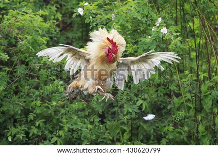 bright red cock jumped high and spread its feathers wings - stock photo