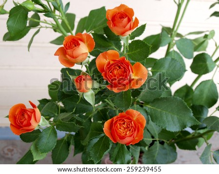 Bright red color blossoms on the rose bush close up   - stock photo