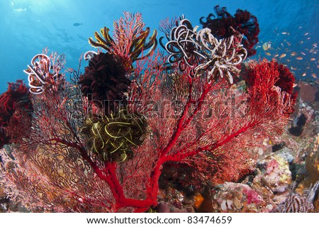 Bright red coral covered with Crinoids on a reef at Bali, Indonesia - stock photo