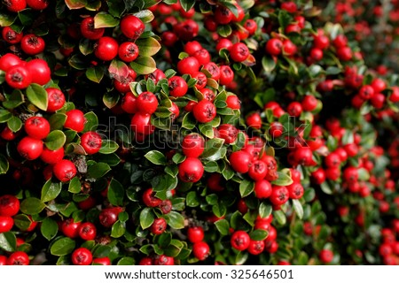 Bright red cotoneaster berries among small green leaves  - stock photo